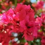咲き誇るブーゲンビリア