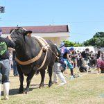 黒島牛まつり牛とのつなひき