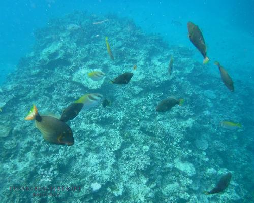 フサキビーチのお魚たち