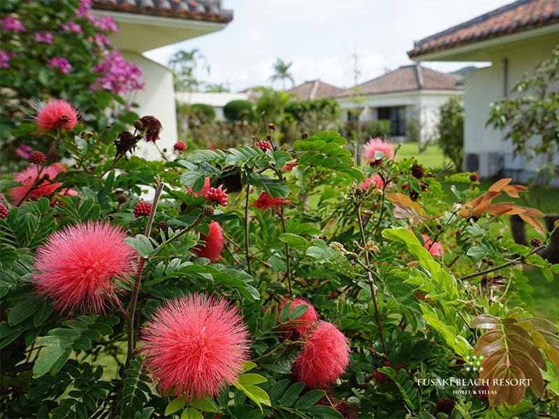 フサキビーチリゾート内に咲くオオベニゴウカン