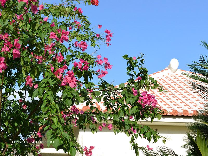 フサキビーチリゾートの赤瓦コテージ前に咲くブーゲンビリア